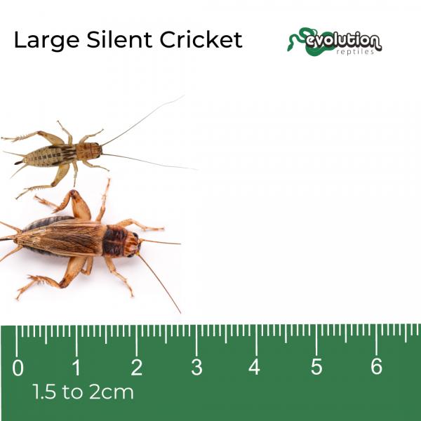 Large Silent + ruler