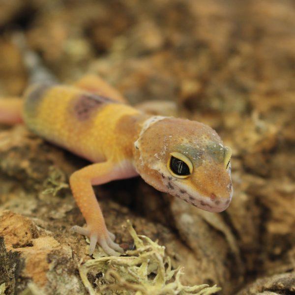 Leopard-Gecko-Hatchling-1-e1475826257712-8.jpg