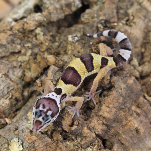 Leopard-Gecko-Hatchling-5-e1475826321131-8.jpg