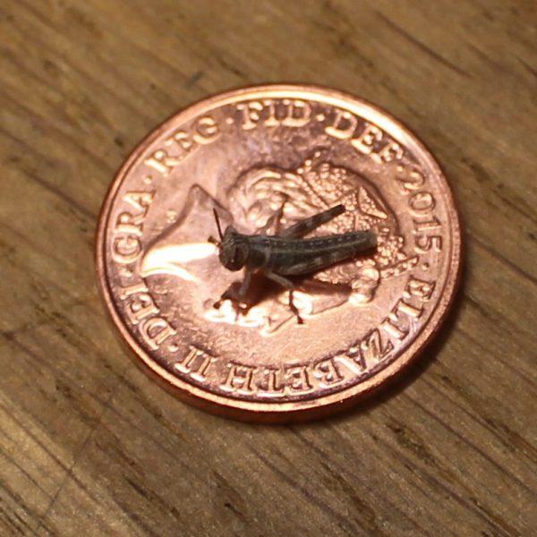 Locust-hatchling-e1463920771433-12.jpg