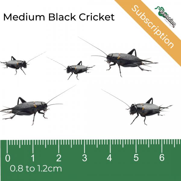 Medium Black Crickets Subscription