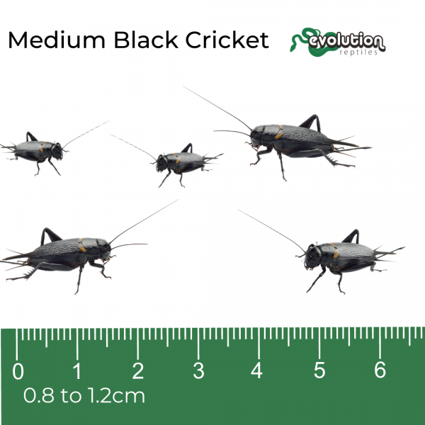 Medium Black Crickets + ruler