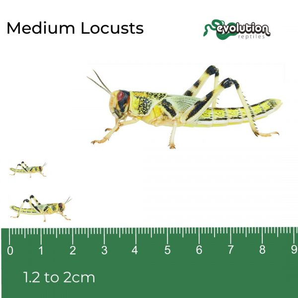 Medium Locust + ruler2