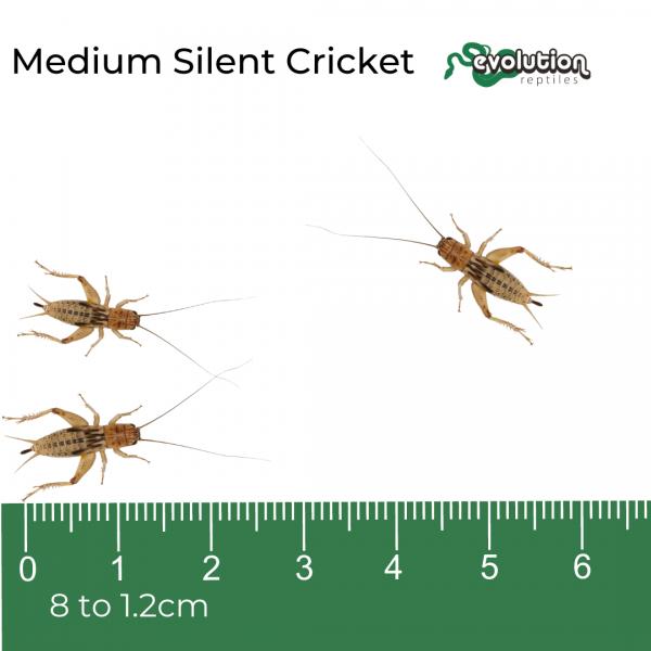 Medium Silent + ruler