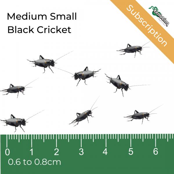 Medium Small Black Crickets Subscription