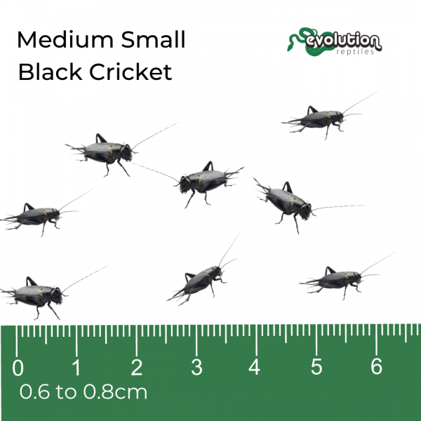 Medium Small Black Crickets + ruler