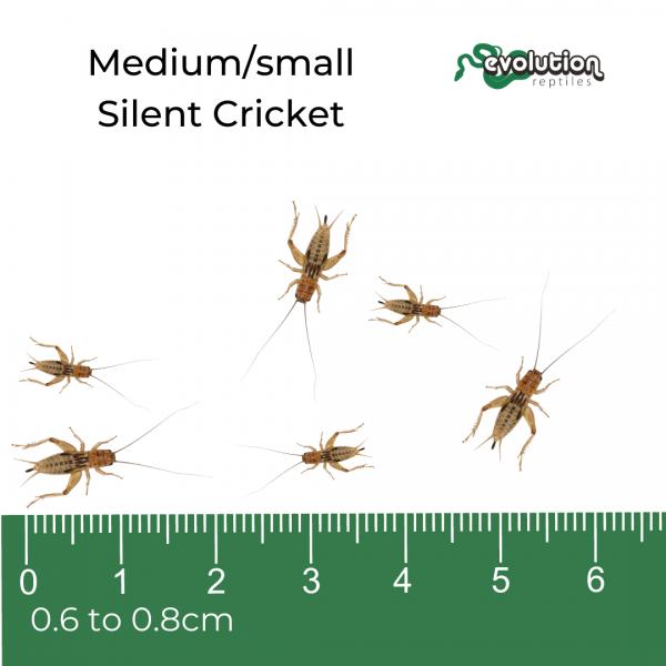 _Medium small Silent + ruler