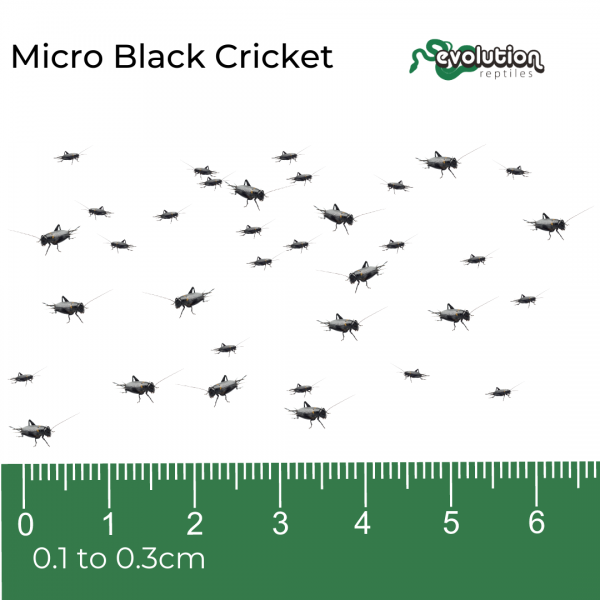 Micro Black Crickets Subscription