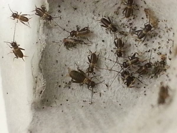 Micro-Silent-Crickets-2-6.jpg
