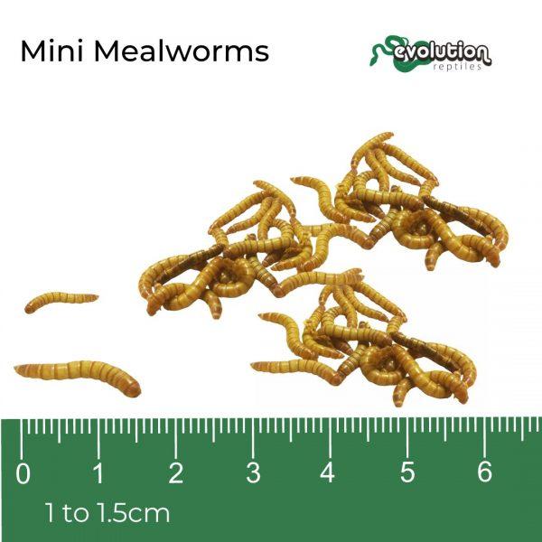 Mini Mealworm + ruler