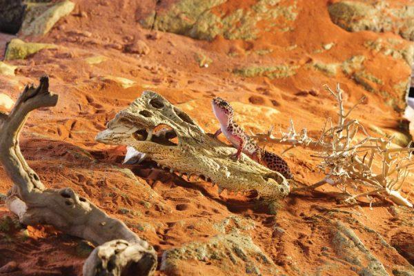 PT2856_Crocodile_Skull_Desert-4-e1461507342114-6.jpg