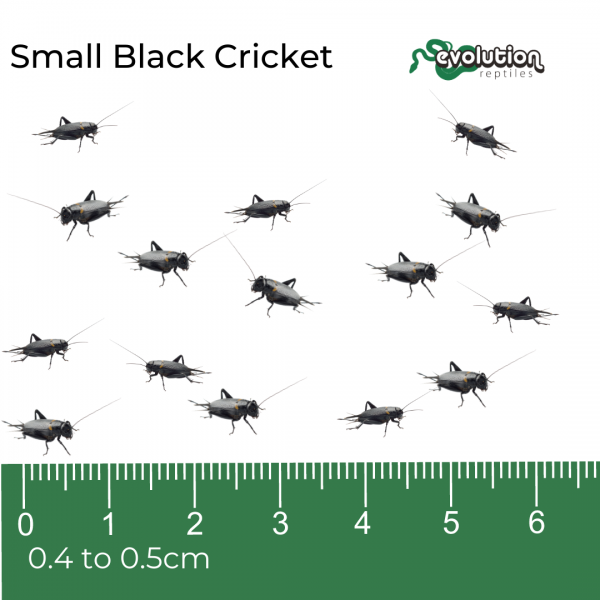 Small Black Crickets + ruler