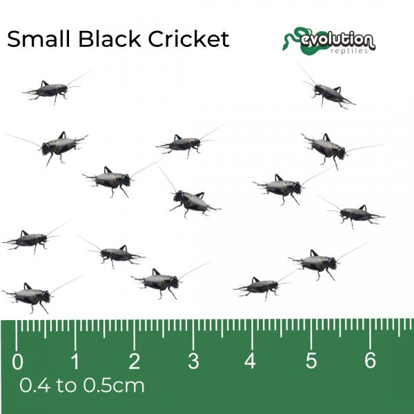 Small Black Crickets + ruler