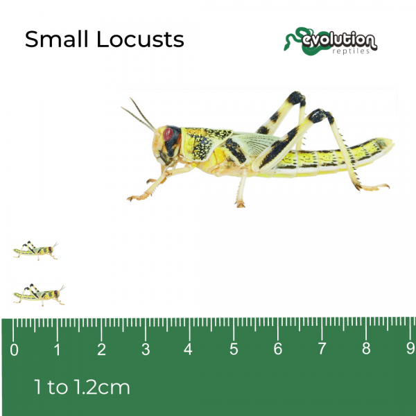 Small Locust + ruler (1)