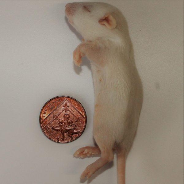Small Rat Weaner
