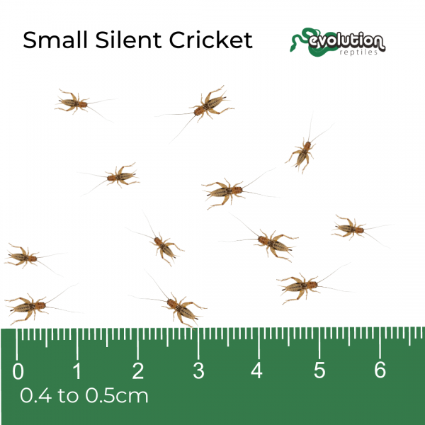 Small Silent + ruler