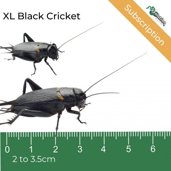 XL Black Crickets Subscription + ruler