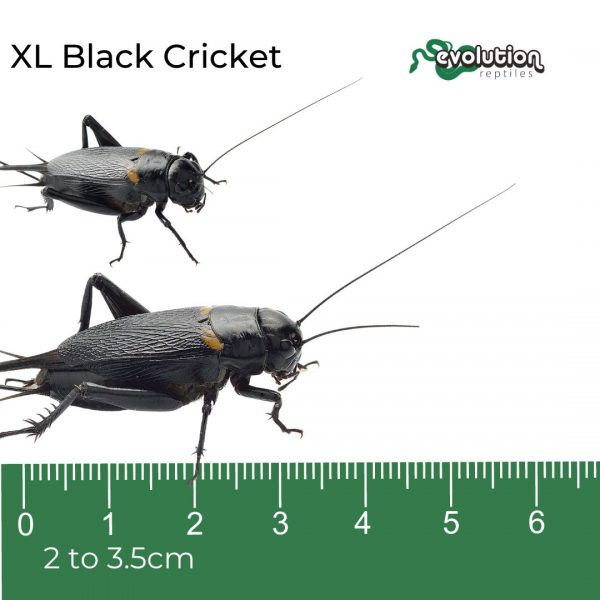 XL Black Crickets + ruler