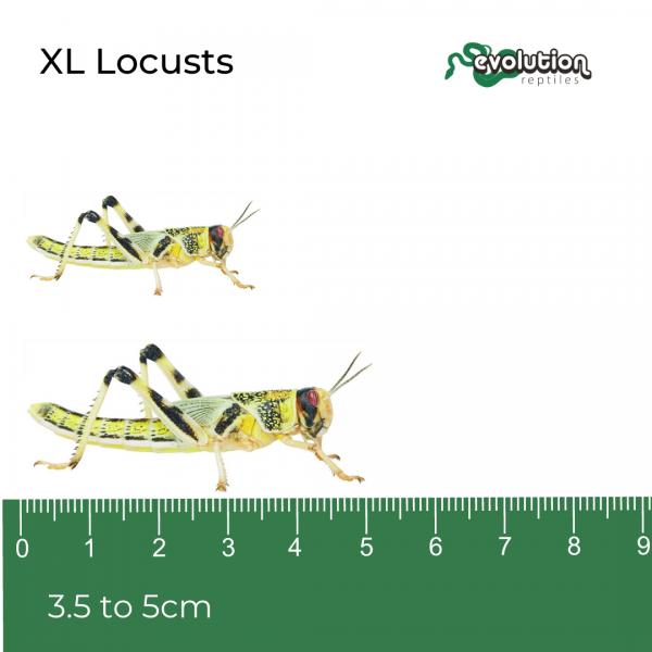 XL Locust + ruler 1