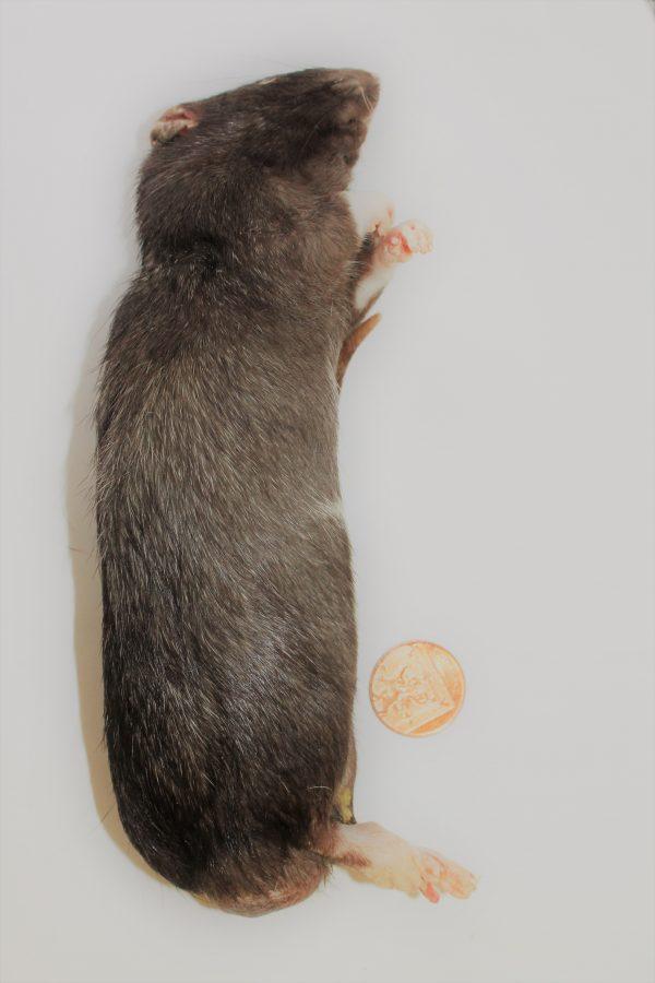 XL Rat