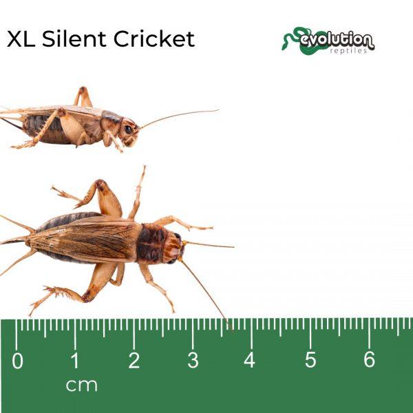 XL Silent + ruler