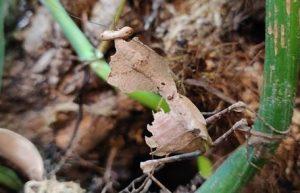 Dead leaf mantis D lobata 5 (2)