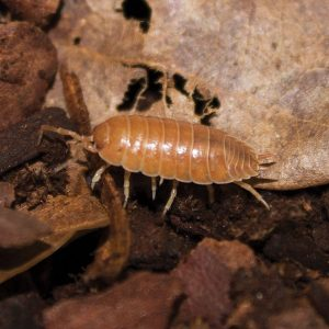 Giant Orange Woodlice