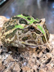 Horned Frog 1