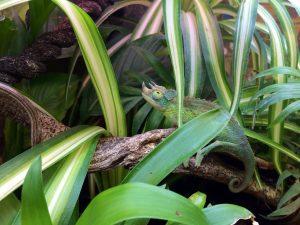 a chameleon in a bioactive vivarium