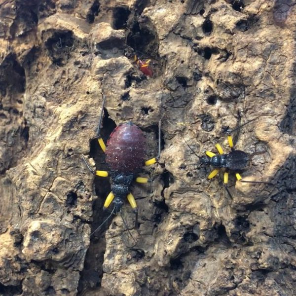 Two Spotted Assassin Bugs