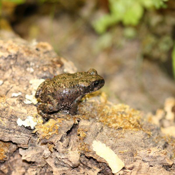 Xinjiang Toad