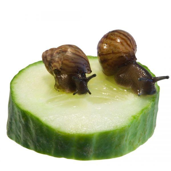 African Land Snail Juvenile