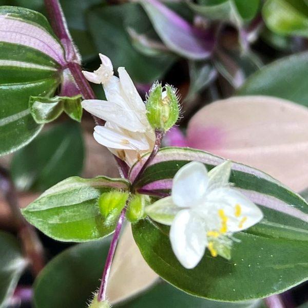 Orchid Mantis 1