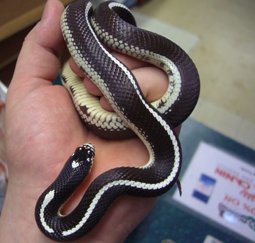 an image of a california kingsnake held by a human