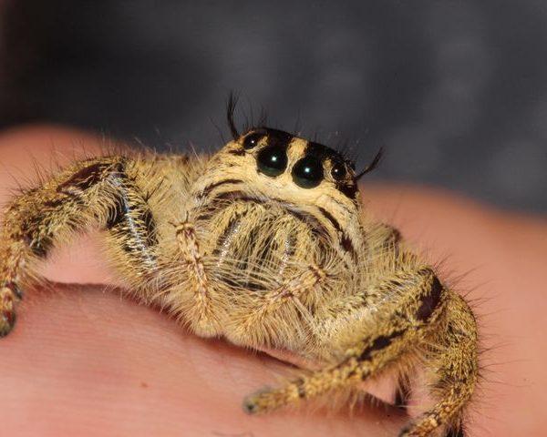 Eyelash Jumping Spider