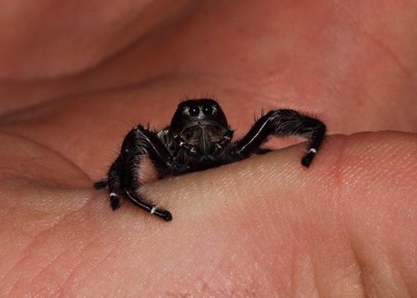 Eyelash Jumping Spider Male 2