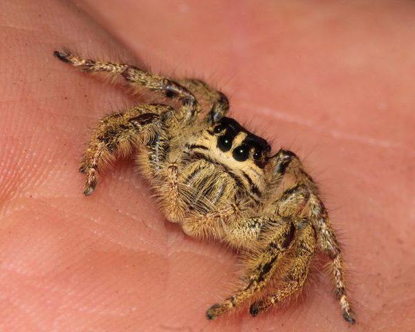 Eyelash Jumping Spider female