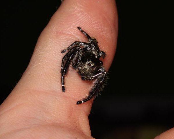 Eyelash Jumping Spider male