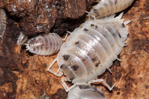 Dairy Cow Isopods 2