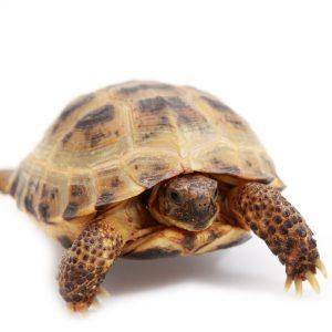 Horsfields Tortoise