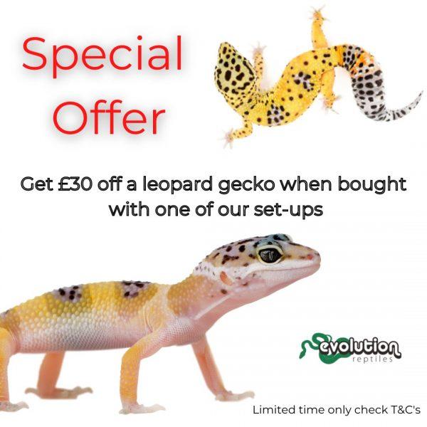 Leopard gecko special offer (1)