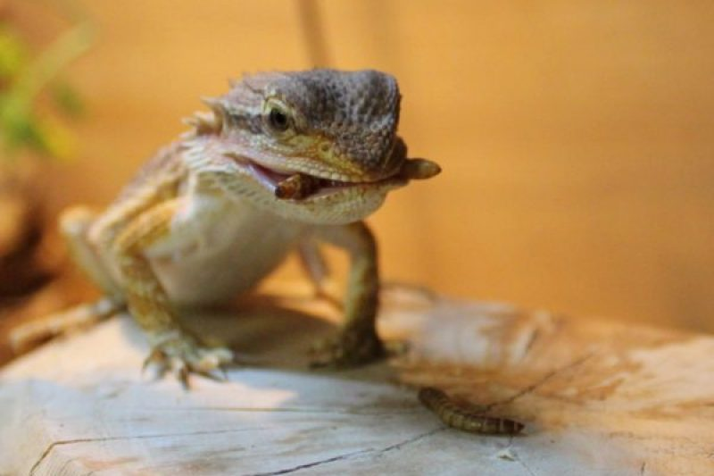 a bearded dragon with a meal in a comfortable vivarium with great humidity