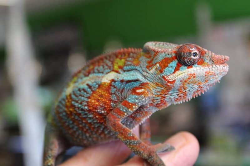Hector-the-panther-chameleon-6.jpg