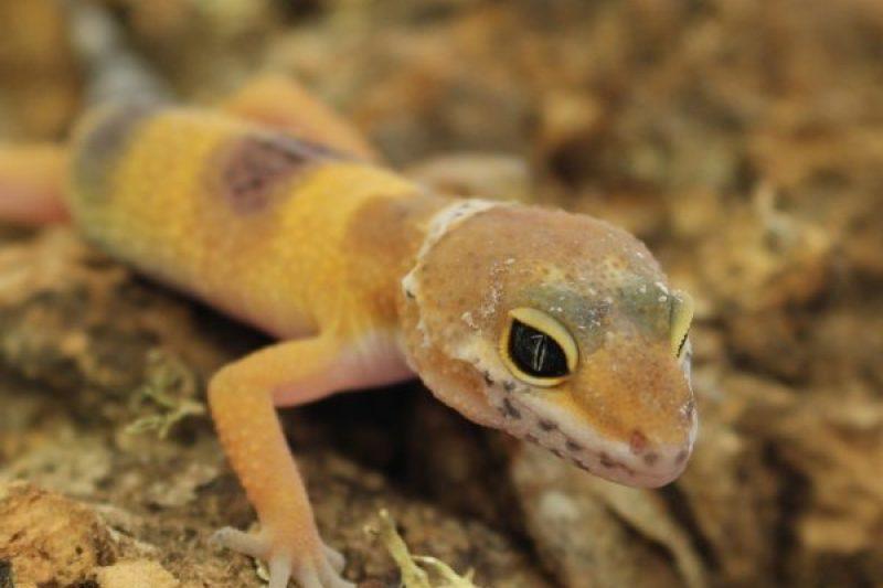 leopard-gecko-hatchling-1