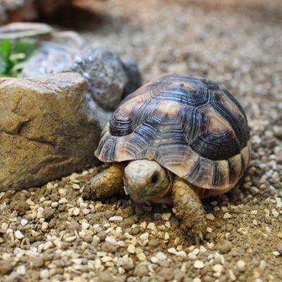 Marginated-Tortoises-e1461834318544-6.jpg