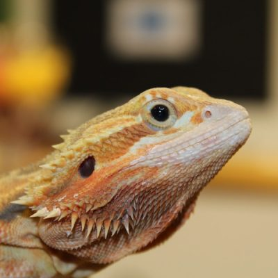 Translucent-Citrus-Red-Bearded-Dragon-e1460209384902-1