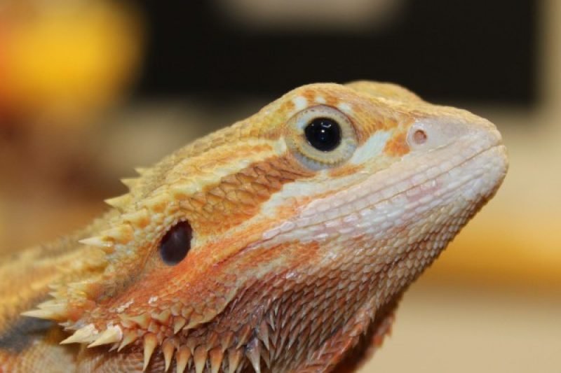 Translucent Citrus Red Bearded Dragon for sale